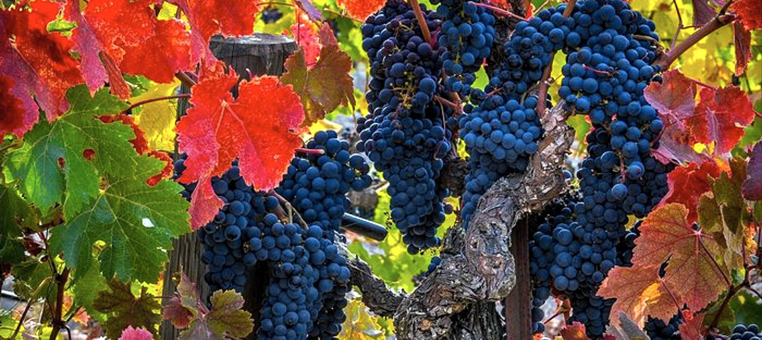 Хозяин виноградника